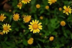 Yellow Flowers - by Dizzy Girl