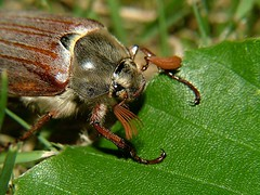 Another closeup form a cokchafer ( Meikever ) (jpockele) Tags: macro nature animal bug insect insecte meikever cockchafer hanneton