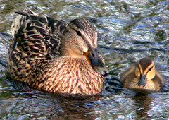 cruise'n with Mom (Steve took it) Tags: nature mom duck babyduck