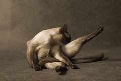 Yogic Kitty (DenisBouchard) Tags: portrait pet topv111 sepia cat canon studio siamese xxx d60 naturesfinest bouchard cc200 denisbouchard thecatwhoturnedonandoff