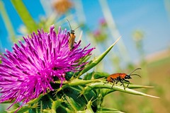 Going out (Victoriano) Tags: summer wallpaper sky plants color colour macro deleteme4 love nature colors bug cicada relax spider spain colours peace dof bokeh wheat country picture sunny bugs explore zen grasshopper biology hdr flogr