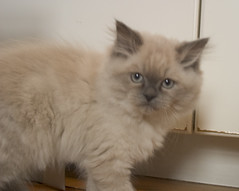 Stink Eye (fiat luxe) Tags: persian kitten rebar himalayan furburger