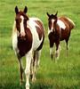 """Painter"" and ""Sugar Hughes"" (LA Lassie) Tags: horses taggedout outdoors topv333 alabama paints countryliving mccalla interestingness15 views300 i500 explore20april2006 specanimal exploretop20 ysplix july182007 7favs388views"