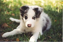Eubie at 12 Weeks (cosmosjon) Tags: dog puppy bordercollie bluemerle jonathansabin