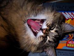 Return Of The Vampire Cat (mightyquinninwky) Tags: cute halloween cat geotagged cool pod 10 5 kentucky nick lexingtonky 500 vampirecat fontaineroad chevychasearea halloweencontest gattigattinigattoni ggghall httpwwwflickrcomphotostagsggghallshow slideshowggghall gatopod jasonpresser geo:lat=38028462 geo:lon=84488146 11223344556677