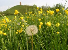 tor through the meadow (Tobymutz) Tags: england meadow glastonbury somerset buttercups glastonburytor isleofavalon lonelydandelionhead