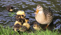 Time to get out of the water (sterestherster) Tags: baby cute bird animal duck pato esther eend tbg esthercita thebiggestgroup