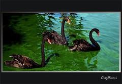 One, two, Three... (crispenteado) Tags: birds brasil zoo natureza ways specnature