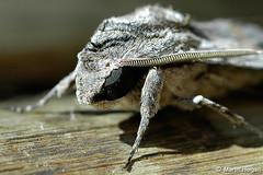 Hawk Moth macro (Martin_Heigan) Tags: macro insect lens nikon close martin d70 moth af 60mm micronikkor 60mmf28micro f28d nikonstunninggallery heigan mhsetinsects