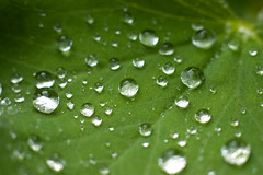 CRW_7908 (*Hairbear) Tags: macro green wet rain canon 50mm leaf drops 300d close crystal tiny raindrops canon50mmf18 f18 cells kenko kenkoextension