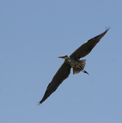 heron in flight (Anduze traveller) Tags: sky france heron birds tag3 taggedout tag2 tag1 oiseaux camargue hron msh0706 msh070615