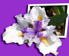 Iris on purple (jodi_tripp) Tags: iris photoshop lily purple allrightsreserved outofbounds kiss2 oob kiss3 kiss1 kiss4 joditripp kiss5 kiss6 mynewfavoritegroup wwwjoditrippcom photographybyjodtripp joditrippcom