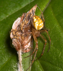 """Spider (Araneus diadematus)(1) • <a style=""""font-size:0.8em;"""" href=""""http://www.flickr.com/photos/57024565@N00/158017897/"""" target=""""_blank"""">View on Flickr</a>"""