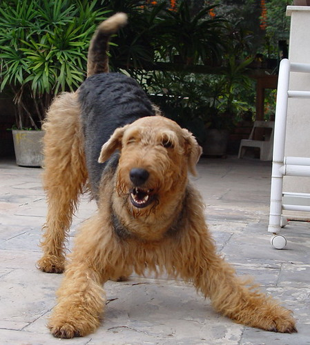 airedale terrier Oliver