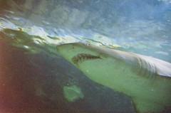 Smile! (Saunderses) Tags: film canon shark teeth underwaterworld mooloolaba expiredfilm 1000fn oceanariam 35135mmf456