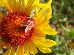 Yellow and red crypsis (disequilibber) Tags: red yellow moth wyoming gaillardia asteraceae polemountain blanketflower gaillardiaaristata manypetals wfgna laramierange schiniamasonia