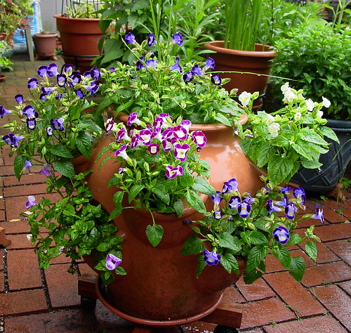 Big Pot-Torenia-061706
