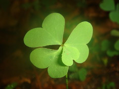 Four leaf clover by MrVJTod on Flickr!