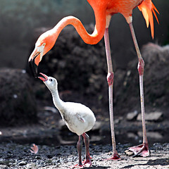 N U R T U R E (jaki good miller) Tags: jakigood flamingo babyflamingo mother nature bird birds nurture dependence birdset explorepages explore interestingness top500 explored explorepage exploreinterestingness