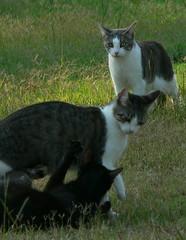 Kitty Wrestling - 6/26/06 (robert_rvnwd) Tags: cat gerbil wendy evi