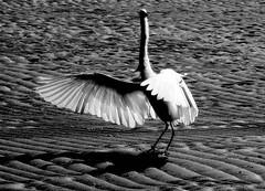 Am I beautiful? (neloqua) Tags: light sunlight daylight fantastic sand summertime ripples lovely charming waterfowl egret