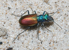 Festive tiger beetle: Cicindela scutellaris scutellaris (tigerbeatlefreak) Tags: nature bug festive insect sand wildlife tiger beetle animalia arthropoda coleoptera pterygota neoptera adephaga exopterygota