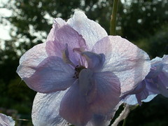 Delphinium Floret. (n.rat) Tags: summer flower yorkshire delphinium forcett
