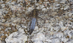 """Black Tailed Skimmer DragonFly (orthe(4) • <a style=""""font-size:0.8em;"""" href=""""http://www.flickr.com/photos/57024565@N00/183928505/"""" target=""""_blank"""">View on Flickr</a>"""