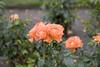 IRISH ROSES