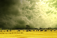 terre jaune (rougerouge) Tags: sky hot colors yellow clouds cow manipulation ps toro sud