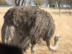 Passing the Ostrich up Close (jsgiuseppe) Tags: ostrich lionpark