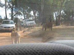 Other Cars Here to Take Pictures (jsgiuseppe) Tags: lions lionpark