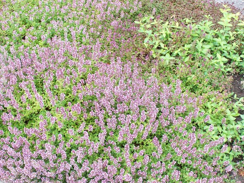 Boulevard planting - thyme in flower