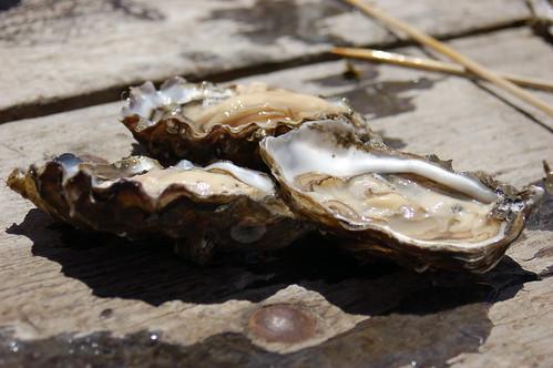 Oyster Farm #12