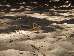 Chick (LavenderLily) Tags: chicken sand chick kauai kee 0x776754