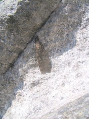 asian long-horn beatle (clubnuno) Tags: 2006 boreal