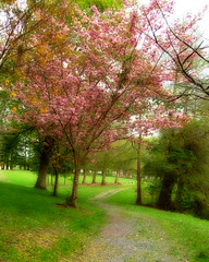 blossom pathway (EssjayNZ) Tags: pink trees cambridge newzealand 15fav tree grass tag3 taggedout spring tag2 tag1 seasons blossom path 2006 waikato essjaynz pathway taken2006 interestingness315 i500 sarahmacmillan