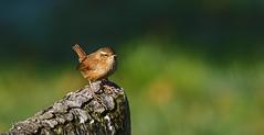 "Wren (hardy-gjK) Tags: birds vogel oiseau wren zaunkönig nature arbre tree wildlife hardy nikon bokeh ""nikonflickraward"""