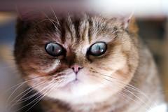 Ling face (_Xti_) Tags: pet cats pets cat silver mouth golden persian fantastic eyes furry feline chat kitty gatos exotic gato gata lua felines gothamist gatto ling katzen gatti cutecat mau exoticcats kaz kätzchen ket gatas exoticcat gatosexoticos gatoexotico méo sorthair exoticsorthair kissablekat