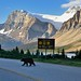 Why Did the Bear Cross the Road? (Banff National Park)