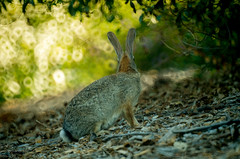 I still have my eyes on you (anoopchandranb) Tags: rabbit animal eyes watching mirrorlens viewfrombehind conejovalleybotanicgarden 3m5amccccp500mmf8