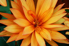 Chrysanthemum (robtm2010) Tags: usa flower canon lexington massachusetts newengland chrysanthemum t3i wilsonfarm