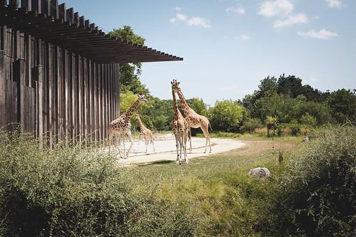Giraffes au Parc de la Tête d'Or, Lyon