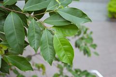 dao-57708 (mutolisp) Tags: world taiwan taipei  angiospermae   magnoliidae angiosperms thymelaeaceae magnoliids spermatophyta malvales   aquilaria  equisetopsida  aquilariasinensis    newtaipeicity apgiii  banqiaodistrict