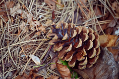 Pine cone (emmajanerigby) Tags: nature bokeh outdoor wildlife depthoffield filter birkenhead pinecone wirral birkenheadpark