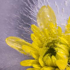 FROZEN IN TIME (Timothy Shirvington) Tags: winter cold flower ice frozen nikon outdoor australia frozenintime