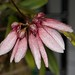 Bulbophyllum acuminatum – Lisa Humphreys