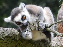 Lemur catta (Luc.T) Tags: planckendael vlaanderen boortmeerbeekhever willendries