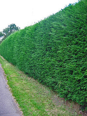 Leylandii Hedge 03