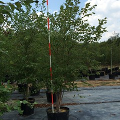 30g Ricer Birch 8/4/15
